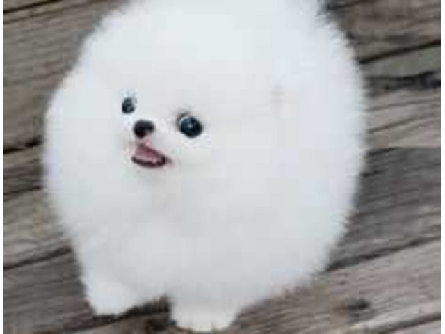 Toy Face Looking Teacup Pomeranian Puppies For Adoption Pomeranian Puppy Pomeranian Puppy Teacup Puppy Adoption