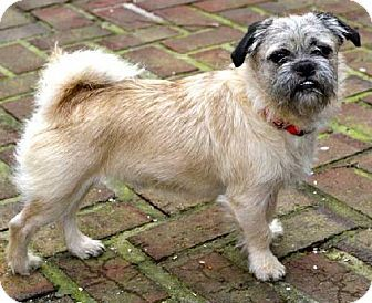 Andover Ct Pug Cairn Terrier Mix Meet Poncho A Dog For