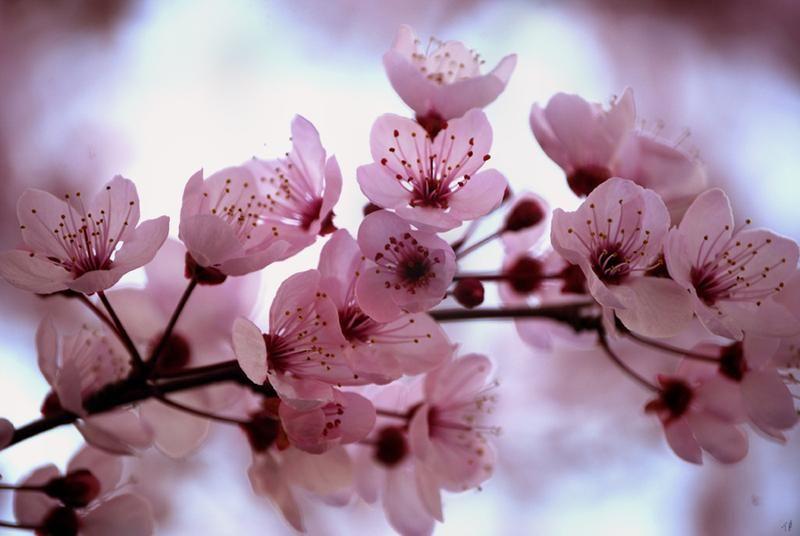 Cherry Blossom By Https Www Deviantart Com Happilyinsane On Deviantart Cherry Blossom Origami Cherry Blossom Blossom