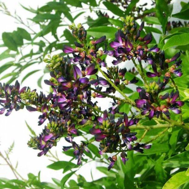 Millettia Japonica Satsuma - Plante grimpante persistante