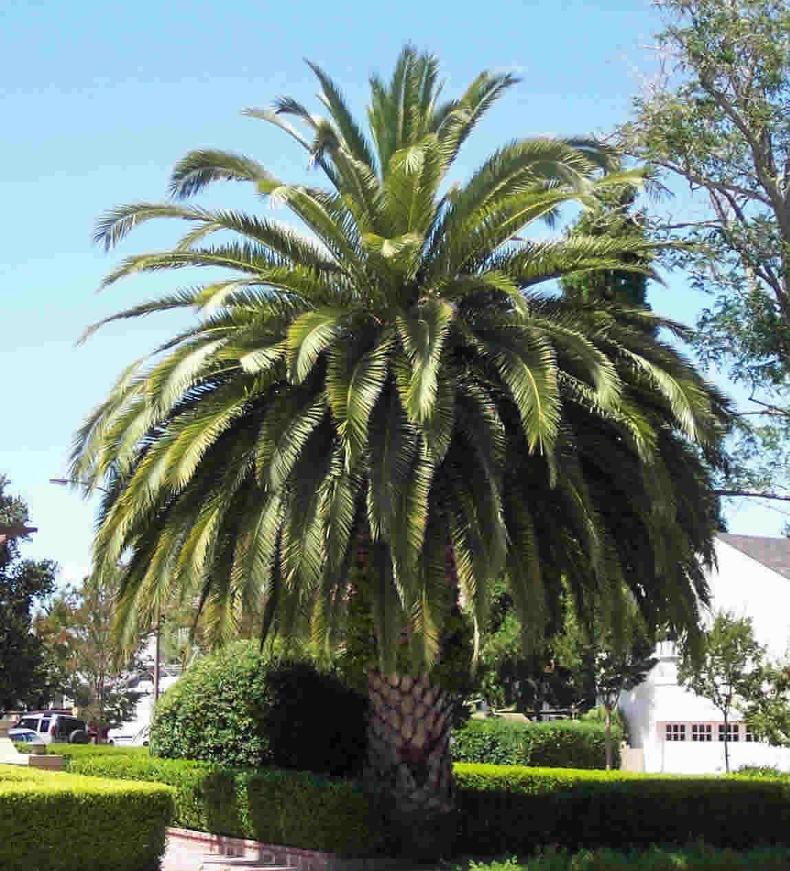 Types Of Palm Trees Palm Tree Identification Palm Tree