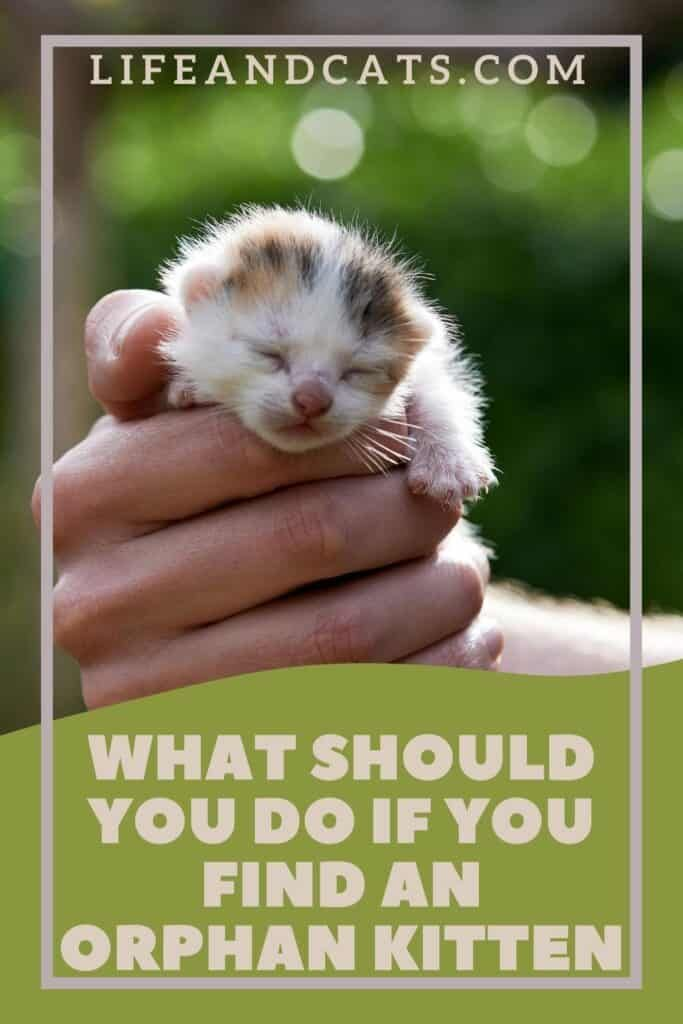 What Should You Do If You Find An Orphaned Kitten Life Cats In 2020 Kitten Care Kitten Getting A Kitten