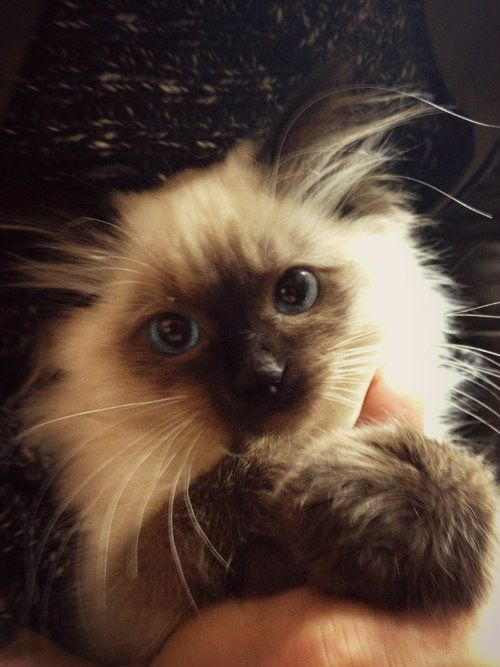 Himalayan kitten (With images) Pretty cats, Cute cats