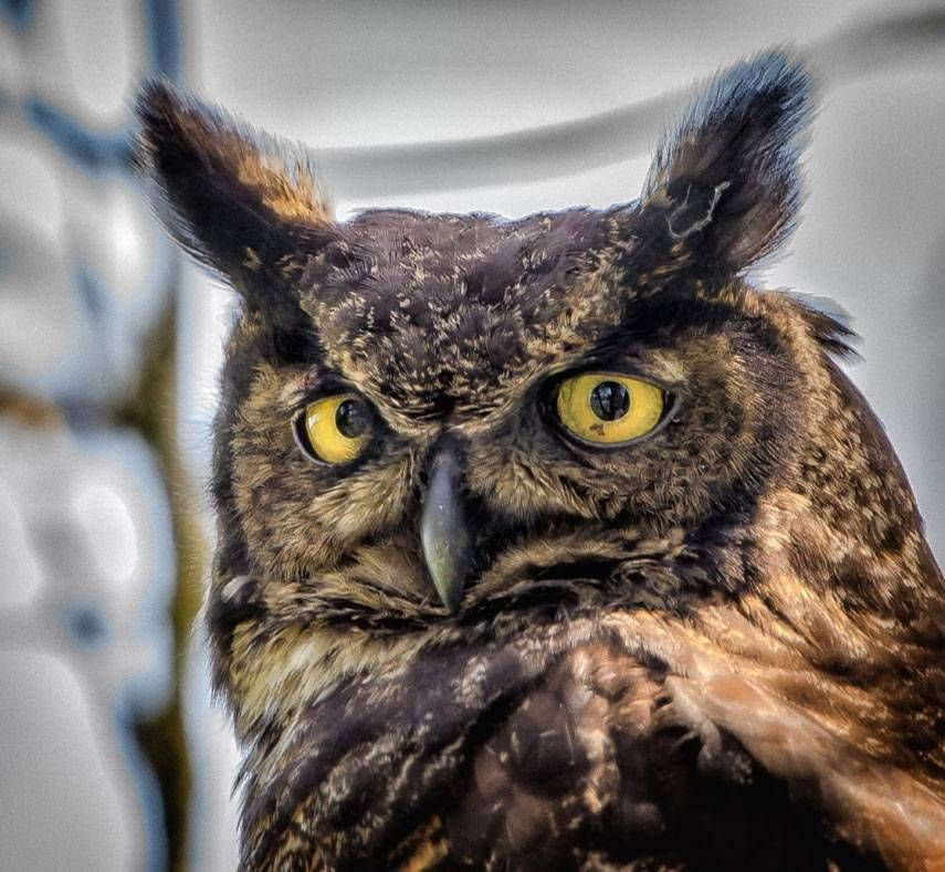 great horned owl by Gary Davenport