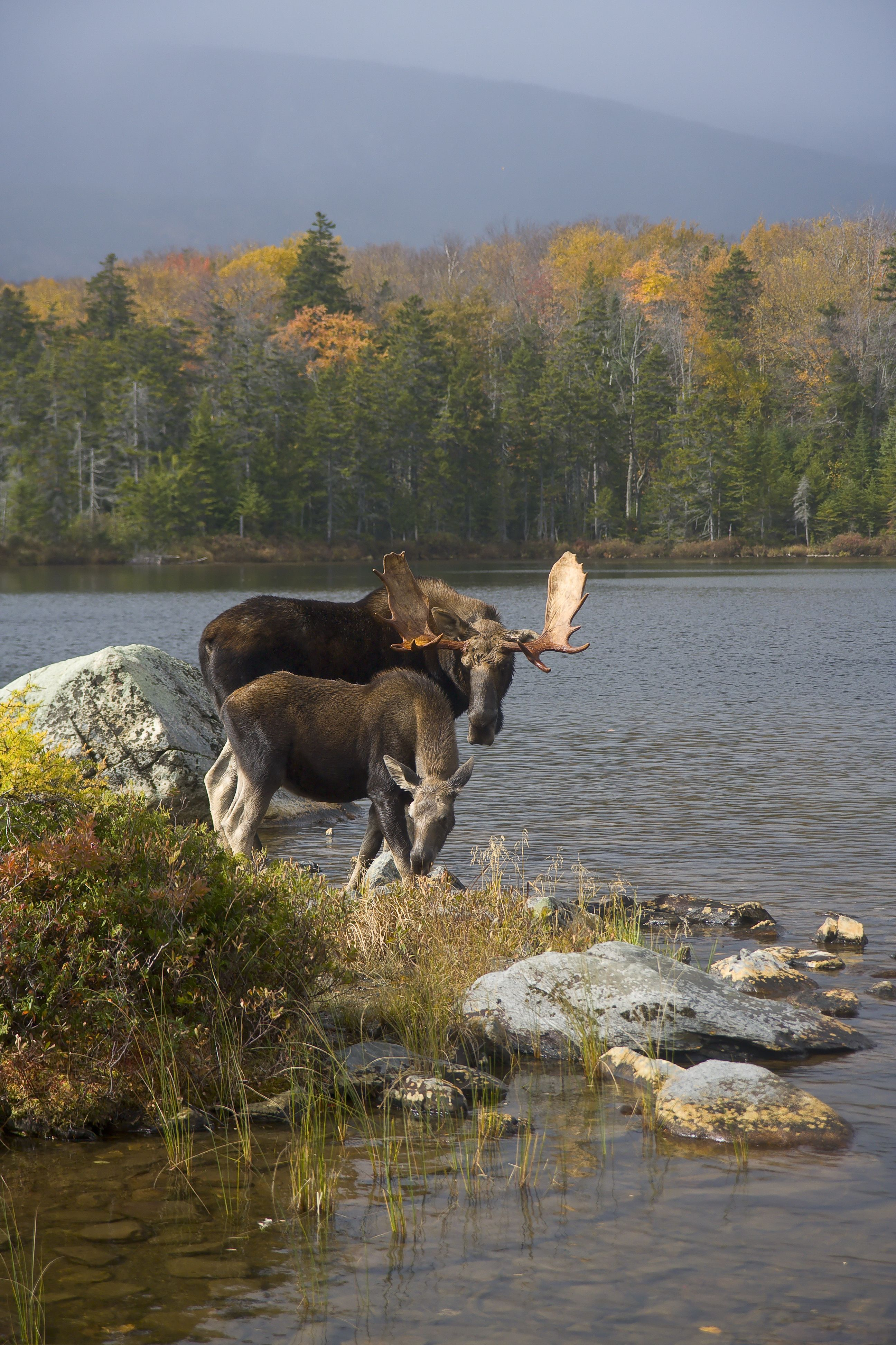 ae6311053a4cd7607cfb6e22c1a76372 moose in maine moose, photo credit and animal