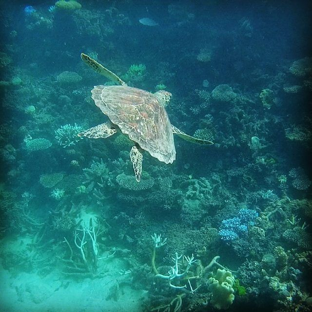 Hey dude  #turtle #schildi #gbr #greatbarrierreef #millnreef #scubadiving #australia #cairns #wunderful #happytraveller #travelling by sarah.fiss http://ift.tt/1UokkV2