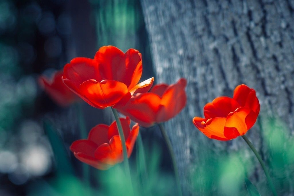 Lovely Red Tulip Flowers Spring Wallpaper Flower Close Up Purple Flowers Wallpaper Flowers