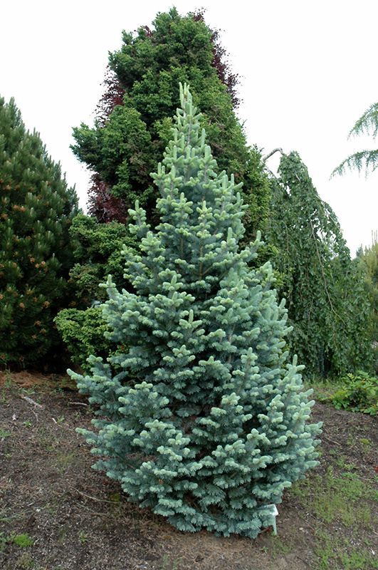compact alpine fir abies lasiocarpa