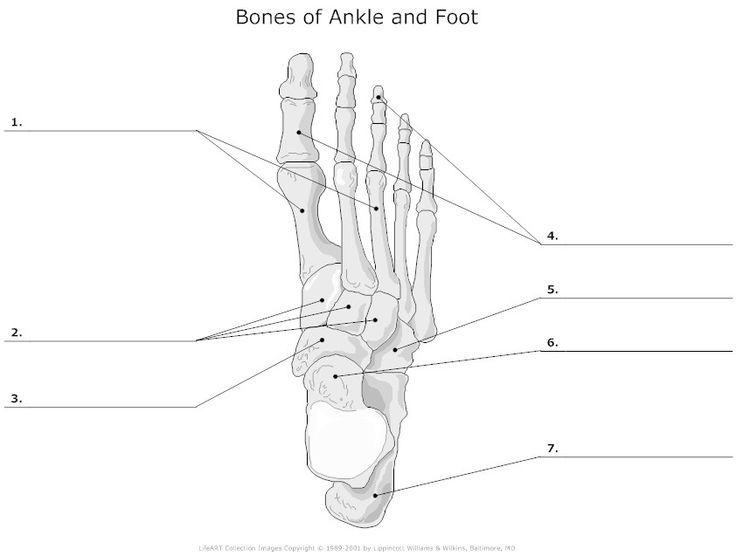 Bones Of Ankle And Foot Unlabeled I Heart Anatomy Pinterest