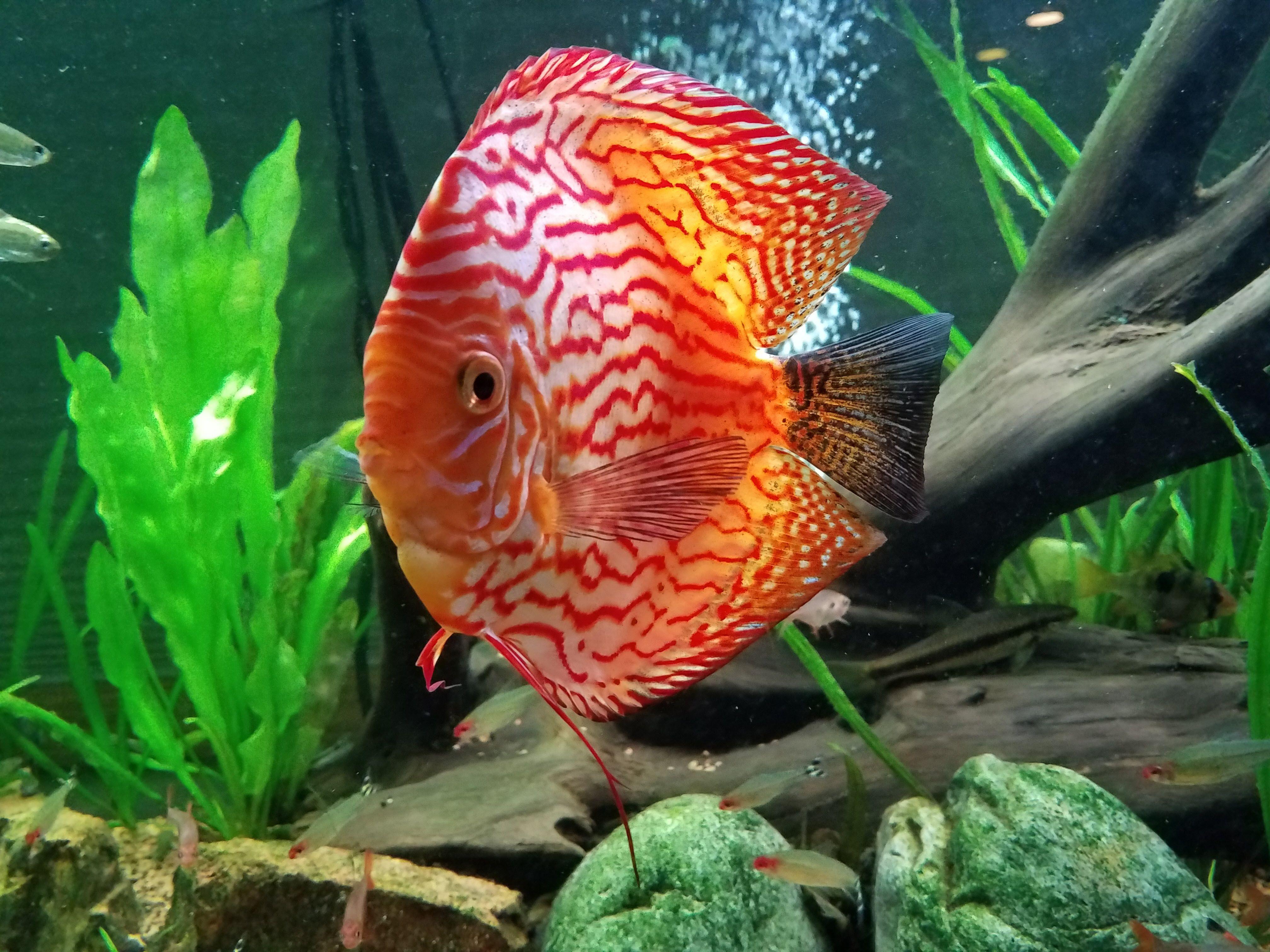 Checkerboard Panda #wattleydiscus | My Fish Hobby | Pinterest