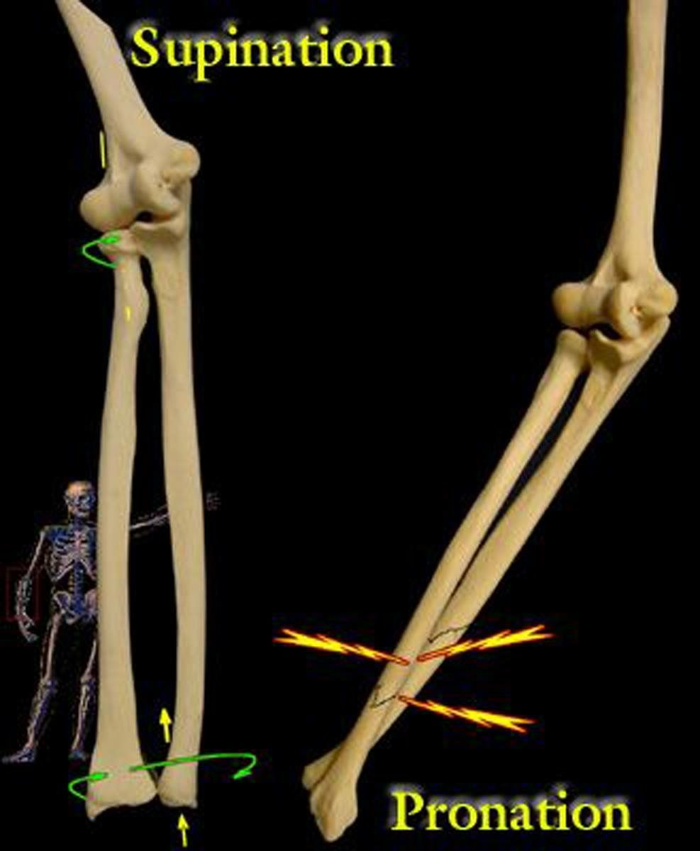 Supination And Pronation Of The Forearm Radiology Pinterest
