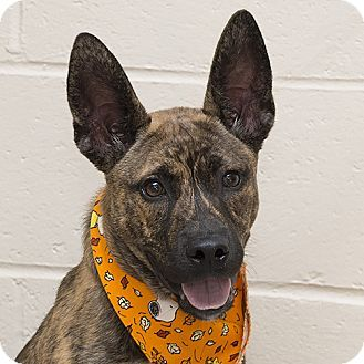 Pin On Cattle Dogs For Adoption