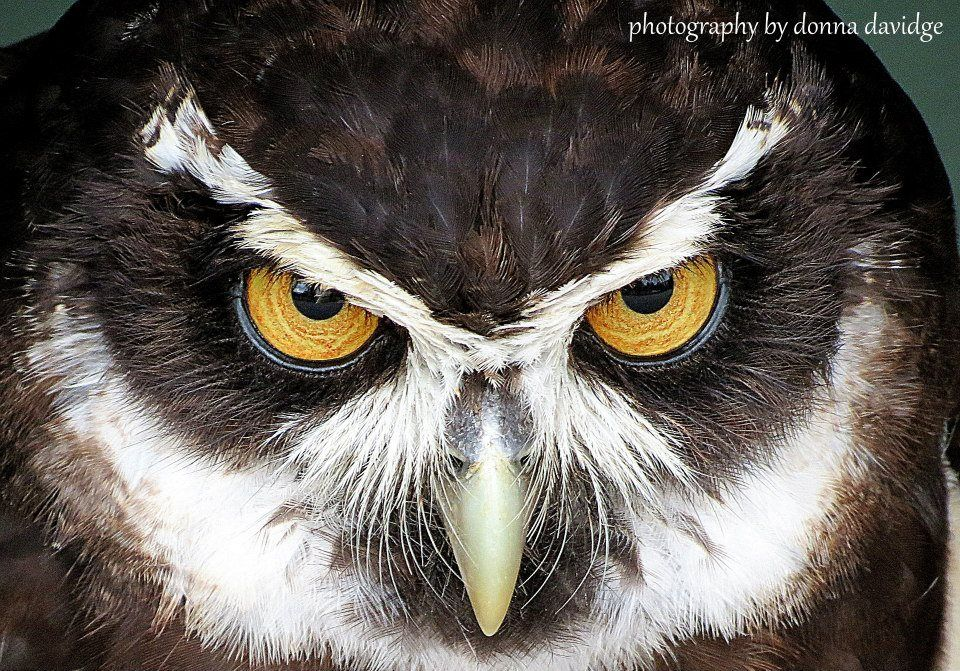 Spectacled Owl Photography by Donna Davidge