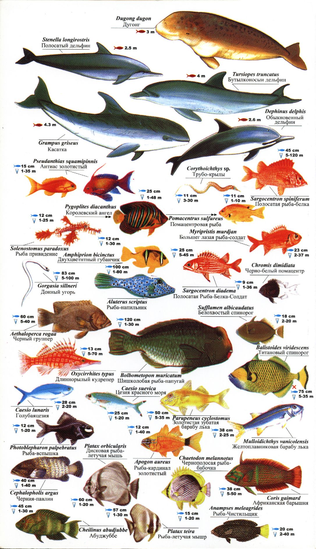 Red Sea Fishes Sea Fish Red Sea Fish