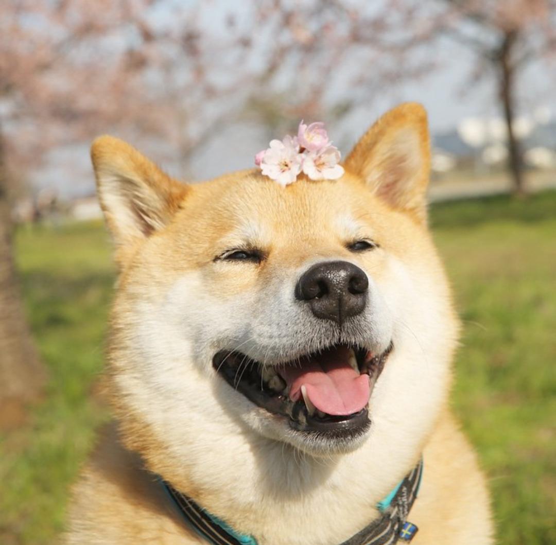 Tsyuna Shiba Inu Dog Cute Dogs Shiba Inu