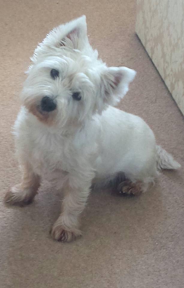Shona Stewarton East Ayrshire Scotland Corgi Dog Cute Dogs