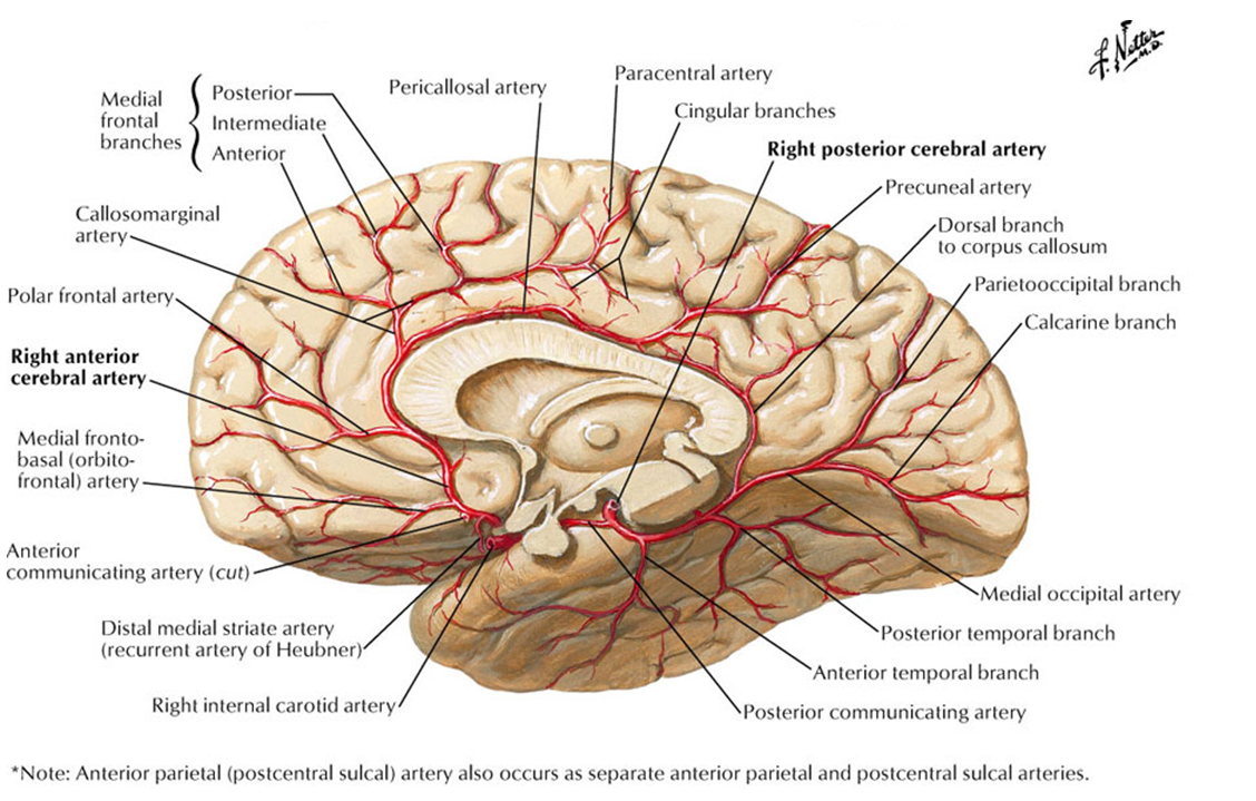 Image result for anterior cerebral artery branches | Neurology ...