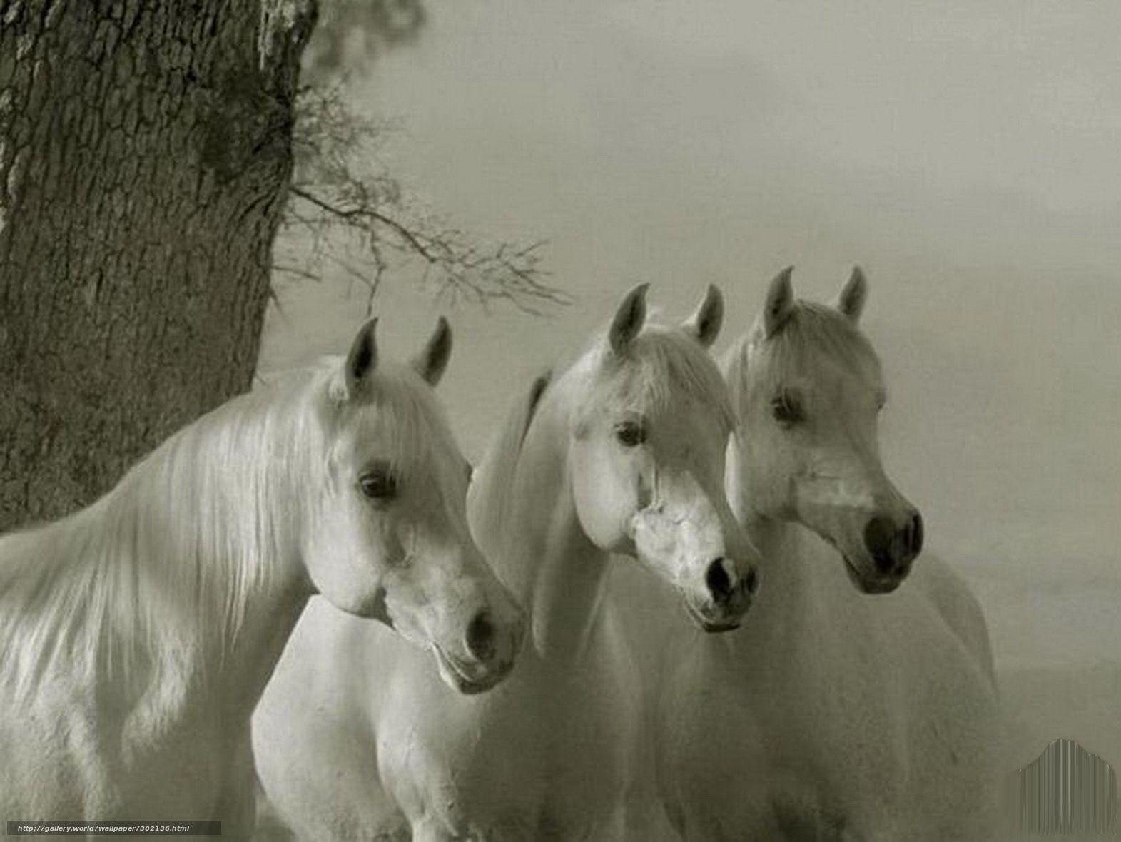 Geliebte pferdebilder als hintergrund | Download Hintergrund Pferde, Pferd &ZF_29