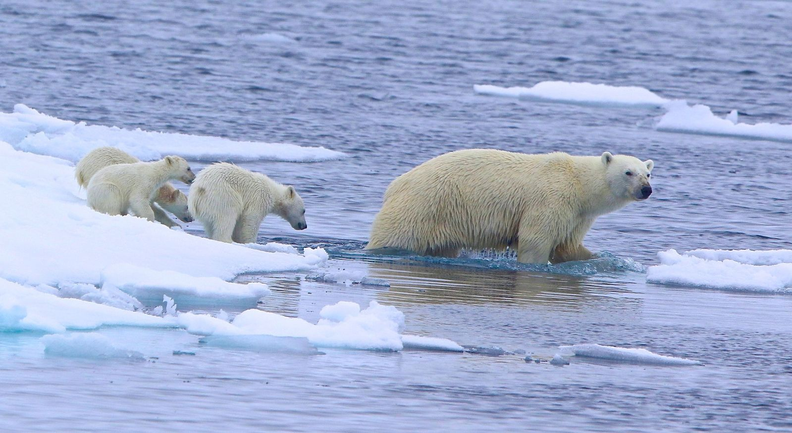 How cute is this mother polar bear with her three cubs