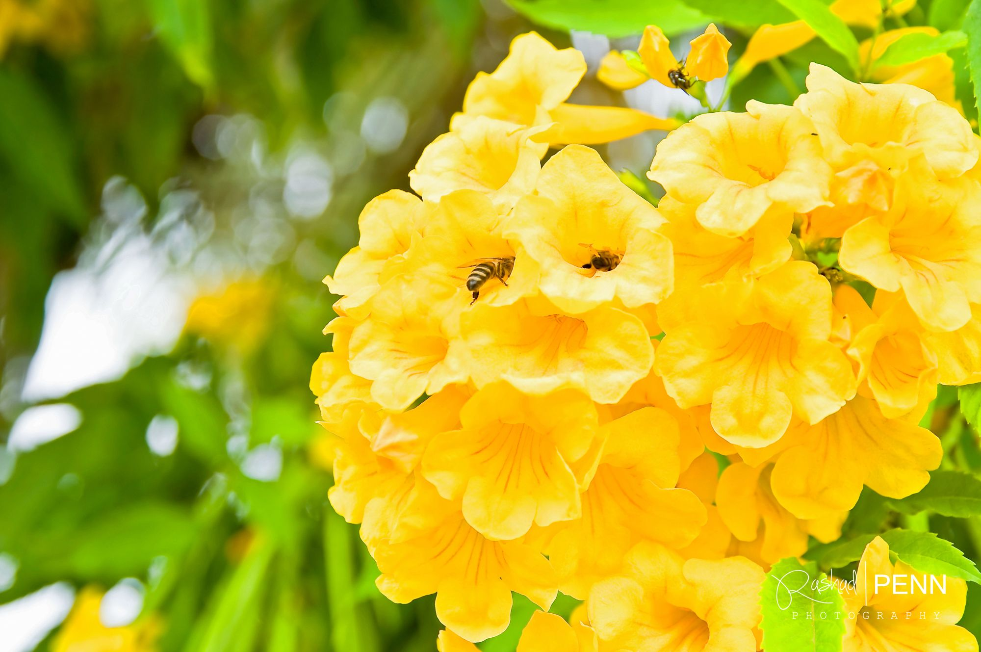 The Yellow Elder Flower National Flower Of The Bahamas Bahamas