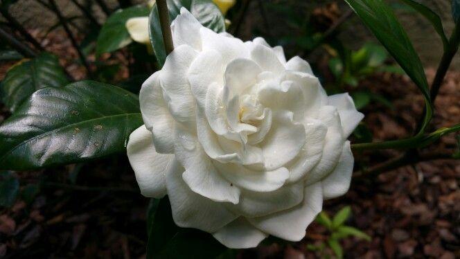 Mystery Gardenia Bloom Gardenia Plant Fragrant Flowers