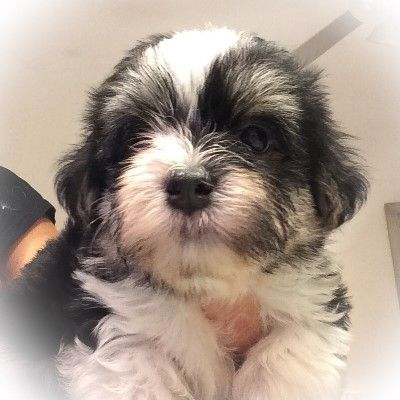Puppies For Sale Cape Coral Fl Havanese Litters Lordocs Puppies For Sale Puppies Havanese