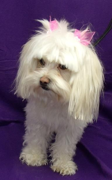 you can fill out an adoption application online on our official websiteviolet is a 1 to 2 year old maltese girl who weighs about 9 lbs she is super sweet