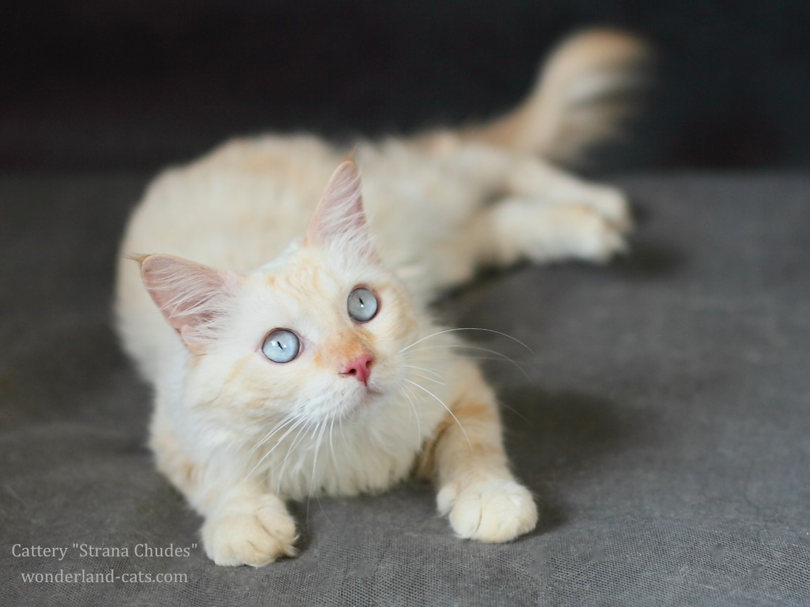 Neva Masquerade Beautiful Cat Color Cream Point Blue Eyes In The Cattery Strana Chudes You Can Choose Beautiful Pretty Cats Siberian Cats For Sale Cattery