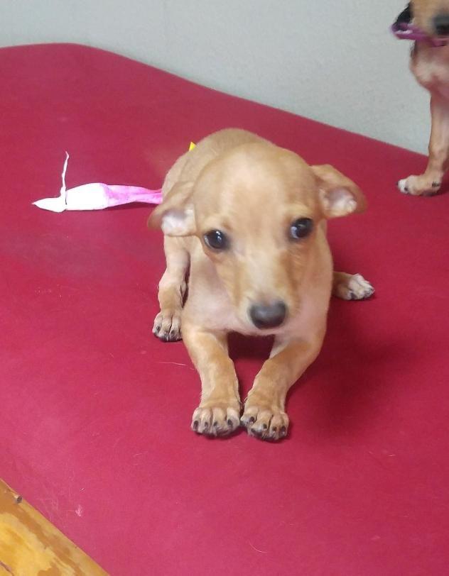 Adopt Delphine On Chihuahua Mix Chihuahua Dachshund