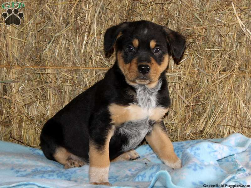 Blue Heeler Rottweiler Mix Rottweiler Mix Rottweiler Mix Puppies Puppy Dog Pictures