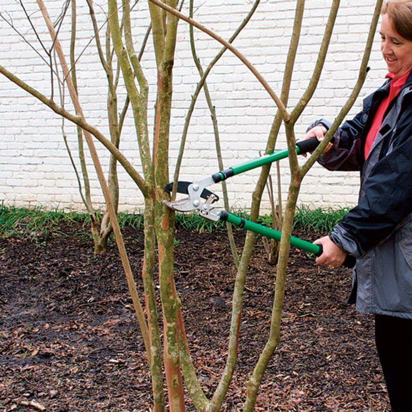 How To Prune Crape Myrtles In 2020 Myrtle Tree Crape Myrtle Crepe Myrtle Trees