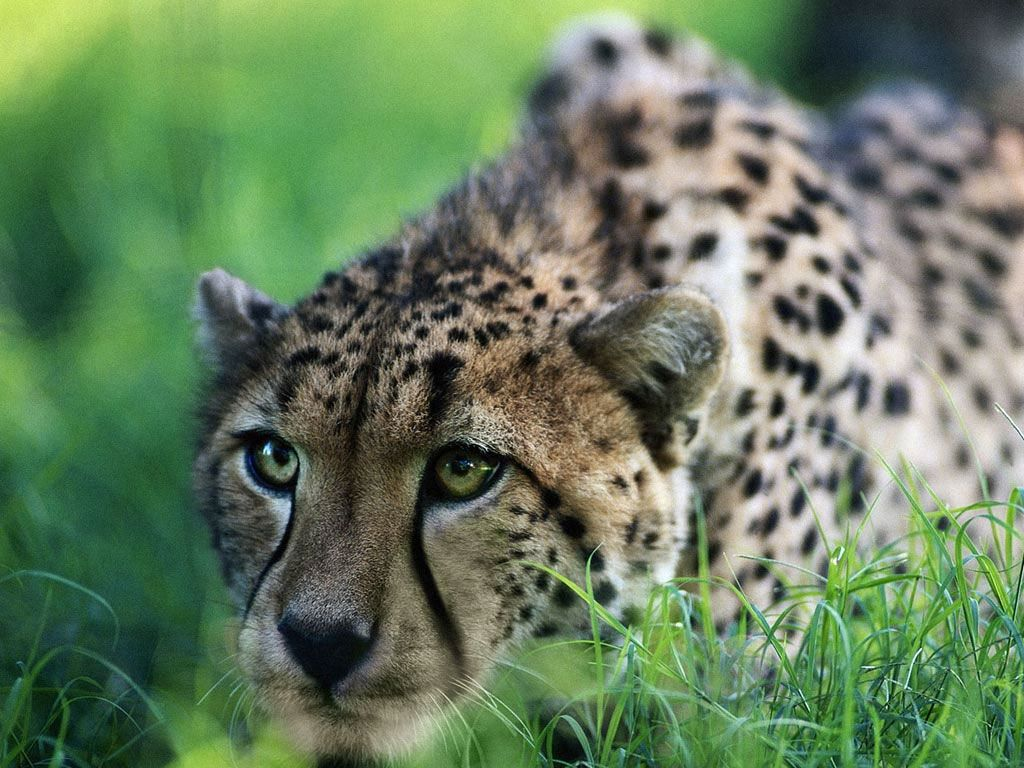 Eine Gruppe von Geparden wird genannt