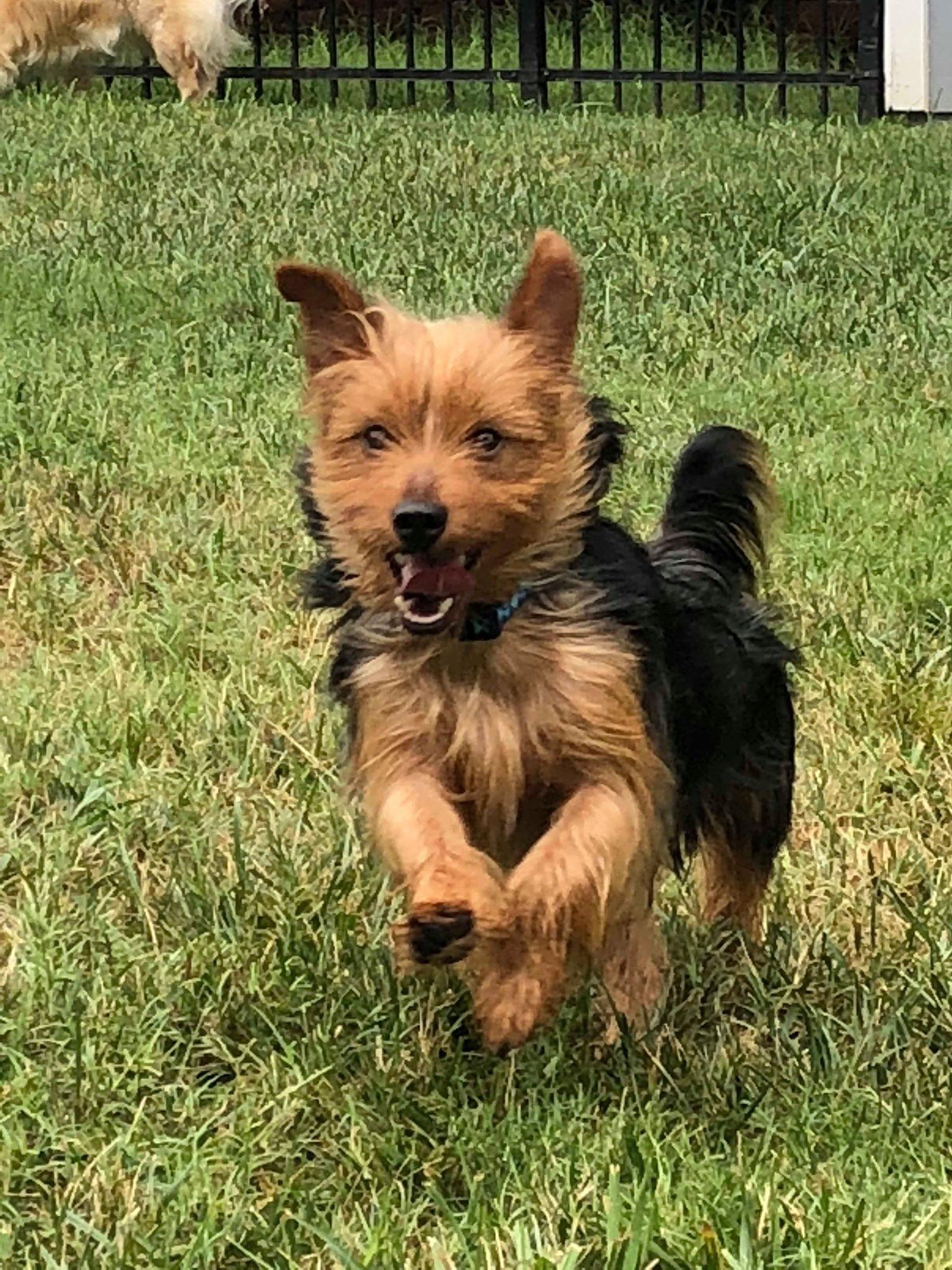Adopt Ted on Australian terrier, Yorkshire terrier
