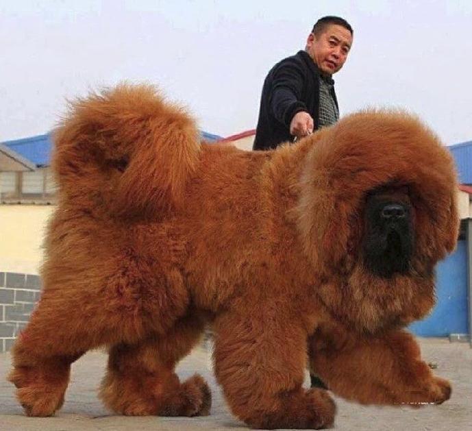 Dogo Del Tibet Conoce A Los Perros Más Grandes Del Mundo Perros Enormes Razas De Perros Gigantes Razas De Perros