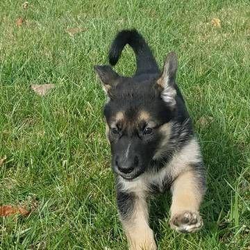 Litter Of 9 German Shepherd Dog Puppies For Sale In Darlington Md
