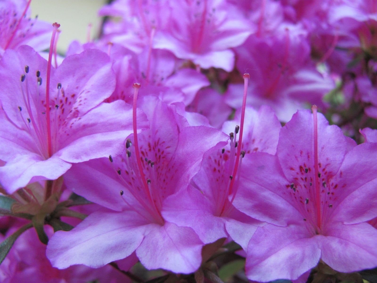 Azaleas Azaleas, Tattoo inspiration, Flowers