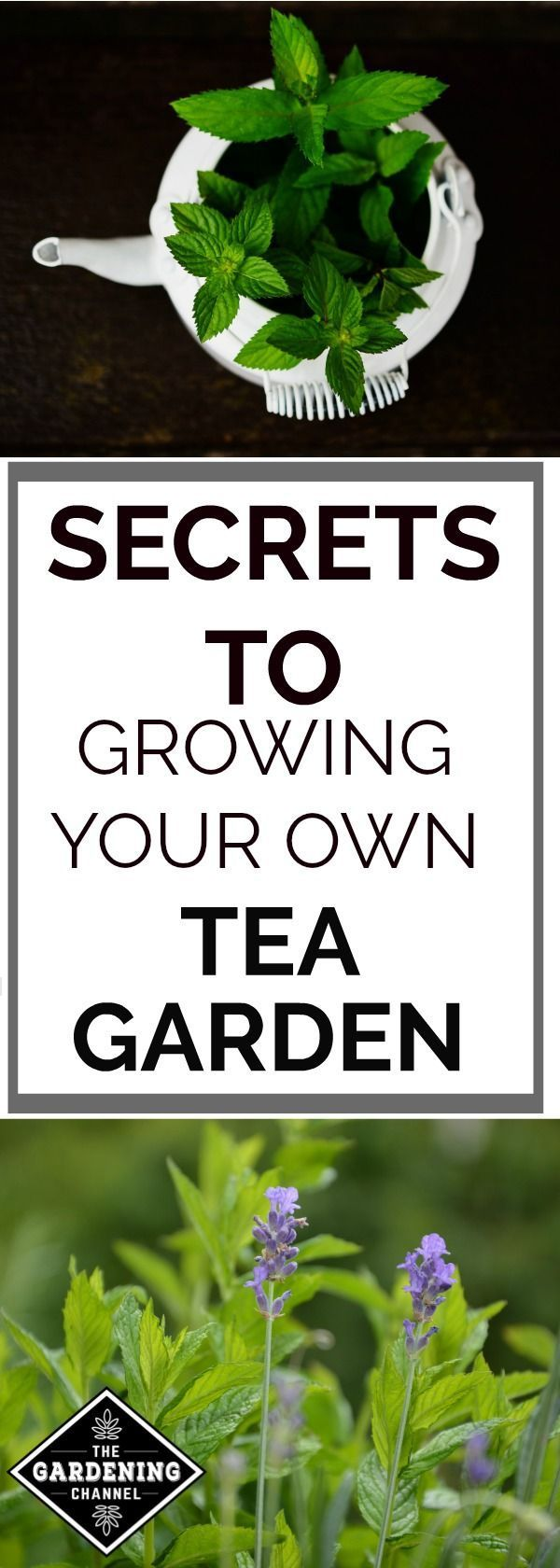You Can Grow Your Own Tea Garden: Learn How to Grow, Care For and Harvest it! #herbsgarden