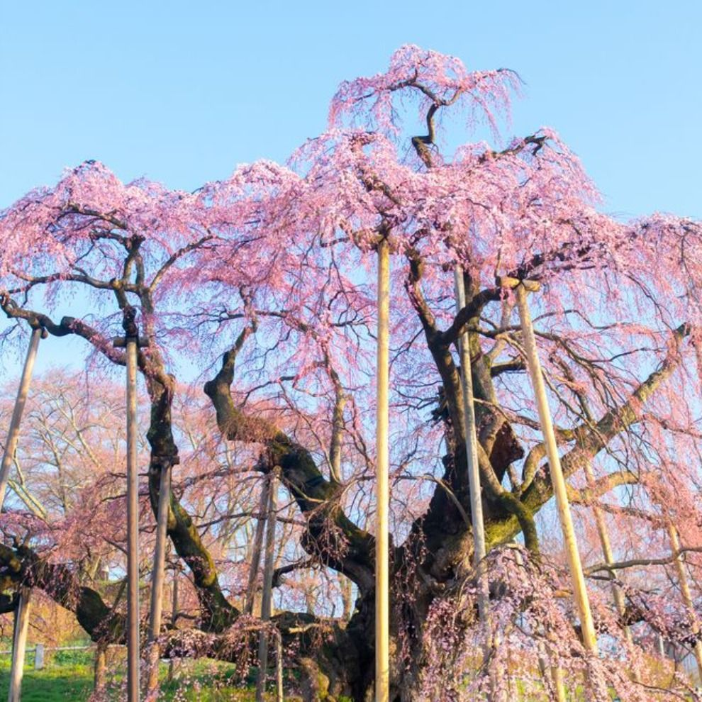 1 000 Year Old Cherry Tree Blooms In Japan In 2020 Unique Trees Cherry Tree City Tree