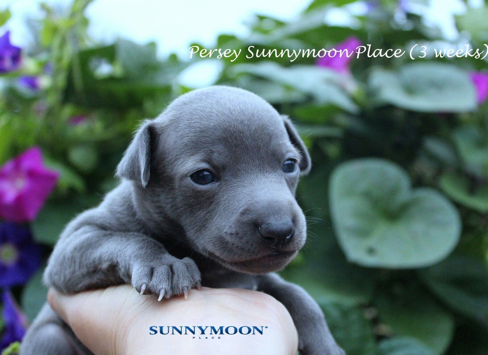 Available italian greyhounds puppies see more