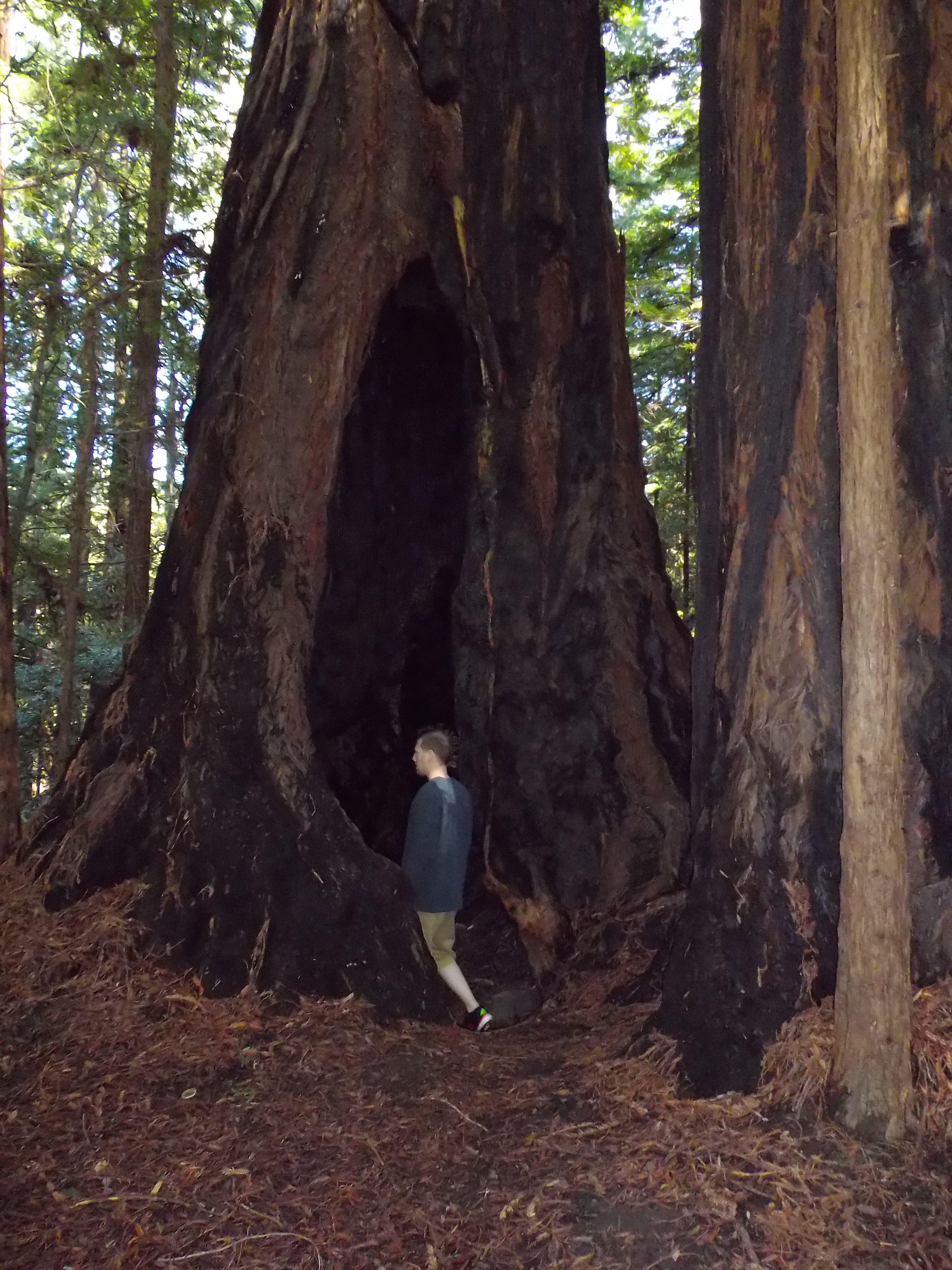 Walking in to a Redwood. Avenue of the Giants. Northern California. 3*11*14
