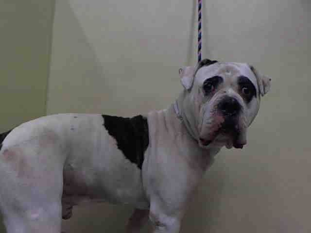 SAFE - RTO 3/3/15 --- Manhattan Center THOR - A1028961 MALE, WHITE / BLACK, AMER BULLDOG MIX, 2 yrs SEIZED - PRE RTO, HOLD FOR RTO Reason OWN EVICT Intake condition UNSPECIFIE Intake Date 02/27/2015, From NY 10451, DueOut Date 03/01/2015, I came in with COSITA https://www.facebook.com/Urgentdeathrowdogs/photos/pb.152876678058553.-2207520000.1425164436./969437673069112/?type=3&theater