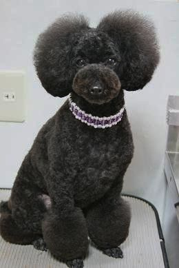 Pin By Cathrine Blan On Dog Grooming Poodle Grooming Dog Grooming Diy Dog Grooming Styles