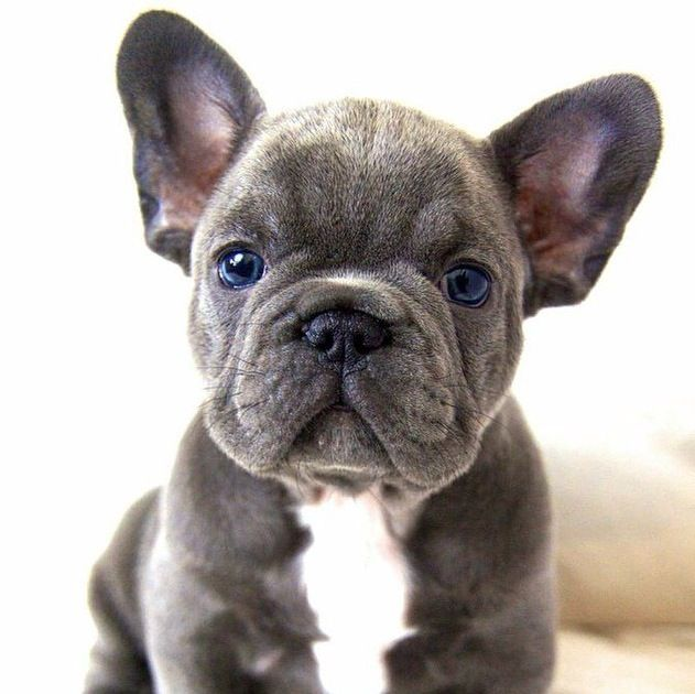 French Bulldog He S Such A Cutie Cute Baby Animals Puppies