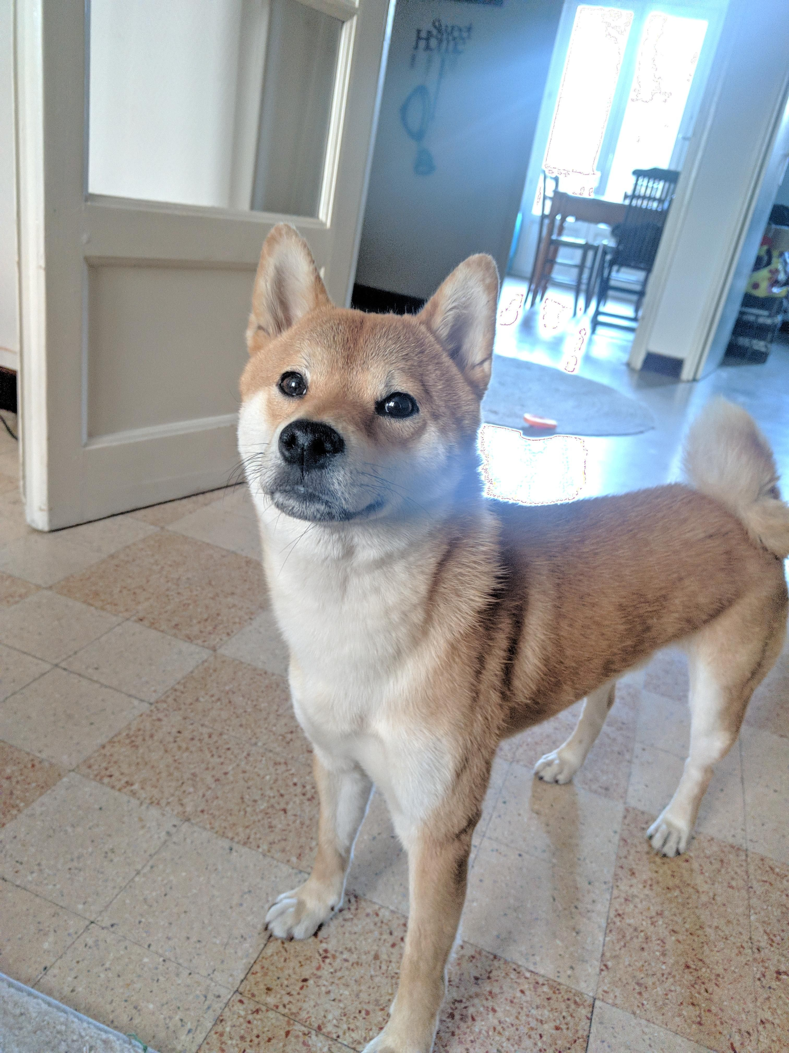 1 Yo French Shiba Here Dogs And Puppies Dogs Shiba Inu