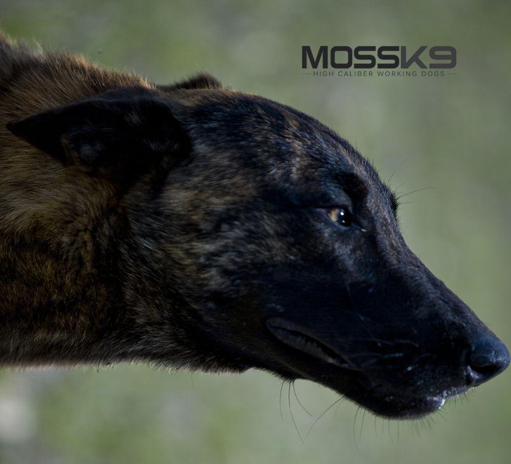 Female Knpv Dutch Shepherd X Belgian Malinois Working Dog Moss K9