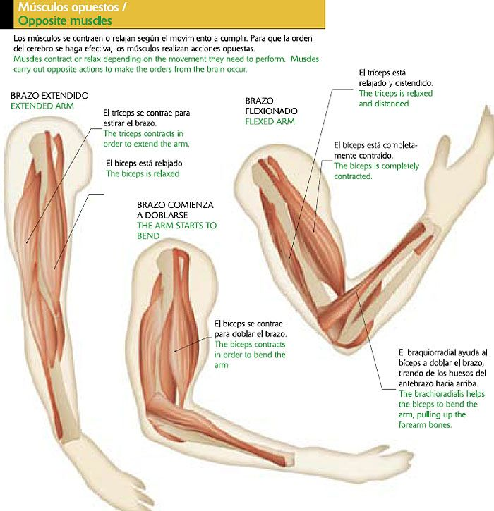 Musculos del brazo. Más | Physical Therapy | Pinterest | Músculos del…