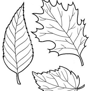 Sugar Maple Leaf Picture Coloring Page