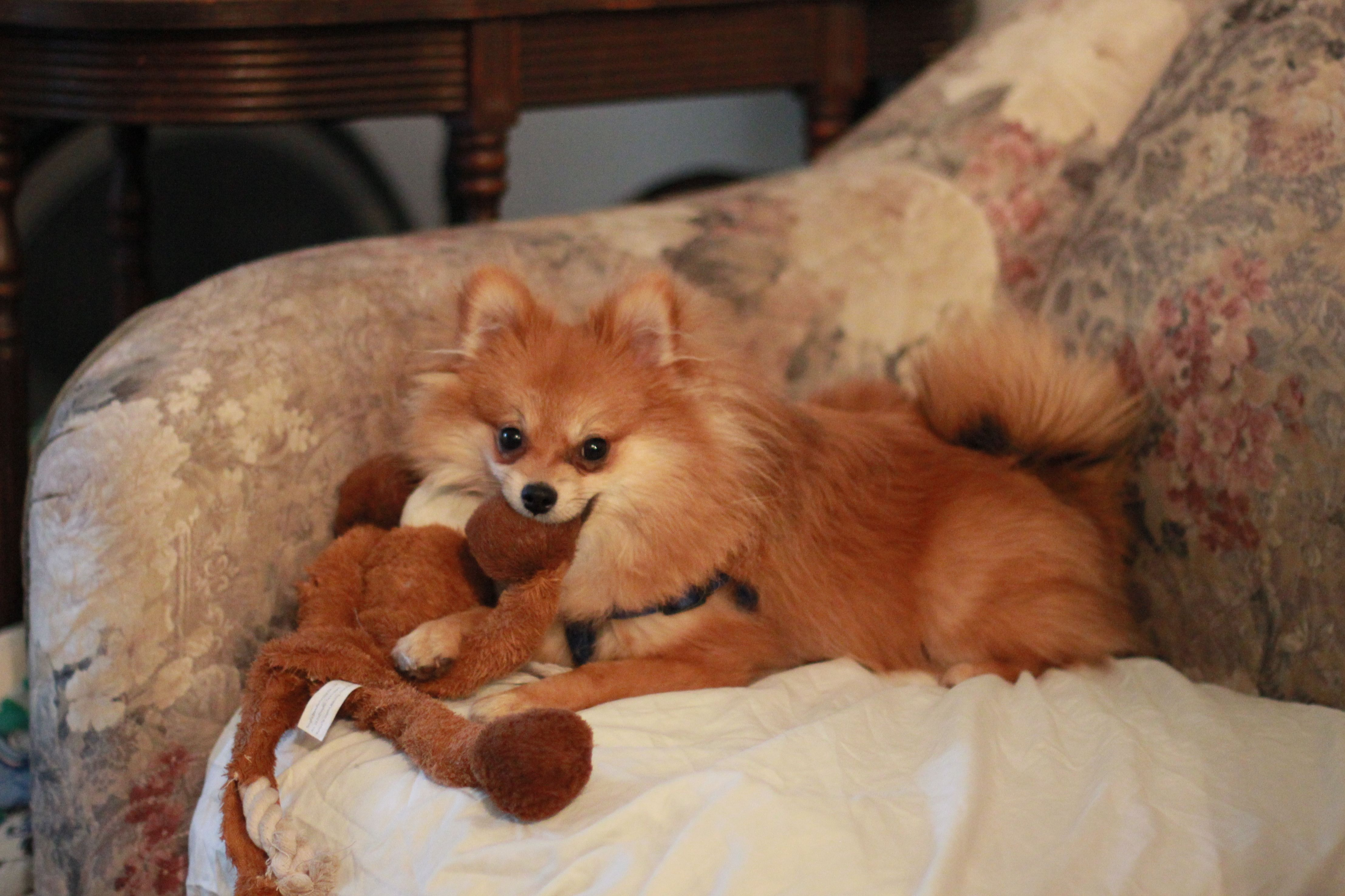 Meet Jiggly Puff. He's a 7 month old pomeranian. His puppy