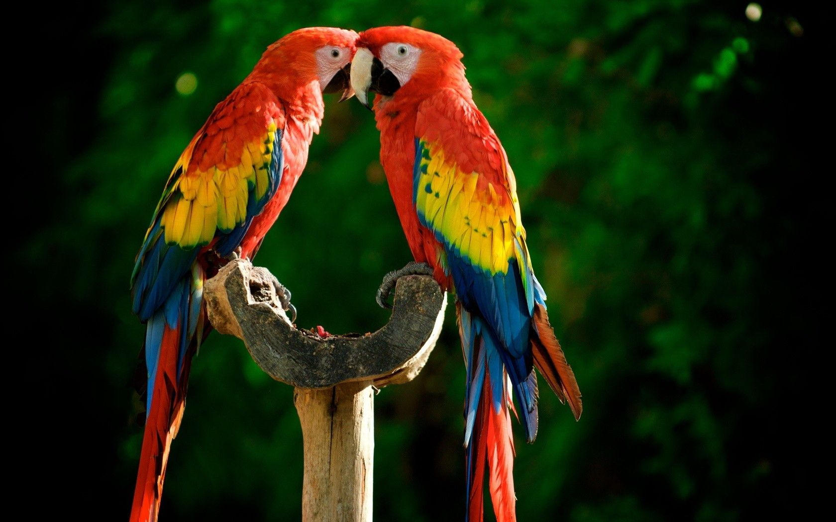 Two colorful parrots beautiful birds. Animal Wallpapers