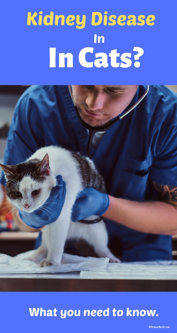 Kidney Disease Symptoms In Cats What You Need ToKnow in